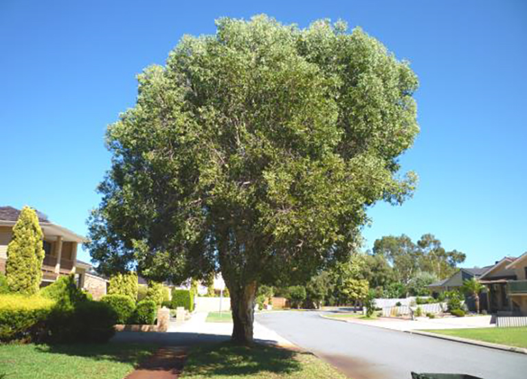 Broad Leaved Paperbark